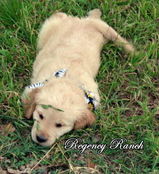 Texas Golden Retriever Puppies - Regency Ranch Golden Retrievers