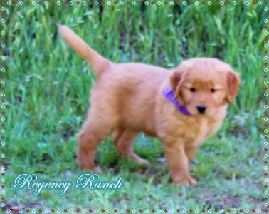 Texas Golden Retriever Puppies - Regency Ranch Golden Retrievers