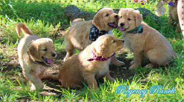 About Our Puppies - Regency Ranch Golden Retrievers